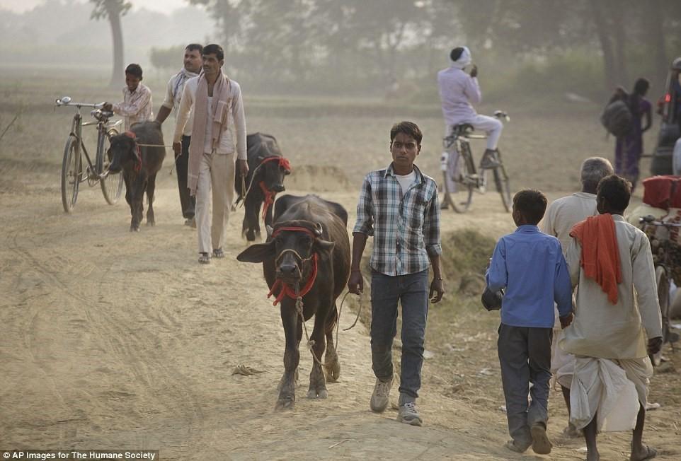 儘管印度已立法禁止,2014年11月仍有超過100人因為試圖帶動物越界而被捕。 取自每日郵報
